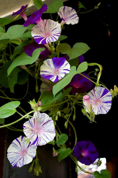 Ipomoeas purpurea 'Aomaraski,' AKA 'Emma's Gift' and Ipomoea purpurea 'Kniola's Black' (morning glories)
