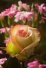 Rosa (rose, florist's type)