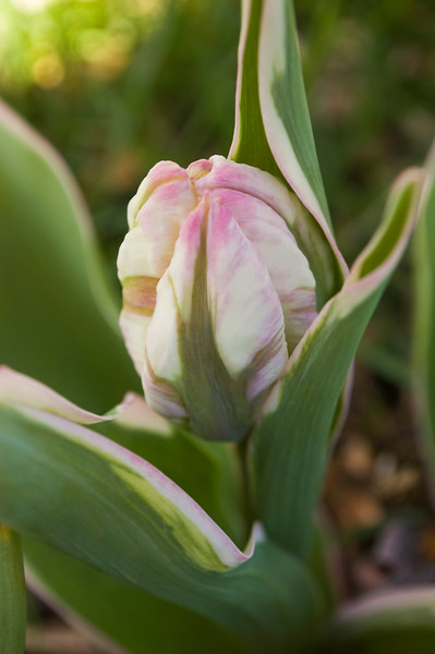 Tulipa 'Silver Parrot'