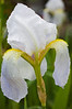 Iris germanica florentina  (orris root)
