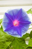 Ipomoea purpurea, pale blue with dark blue star (morning glory)