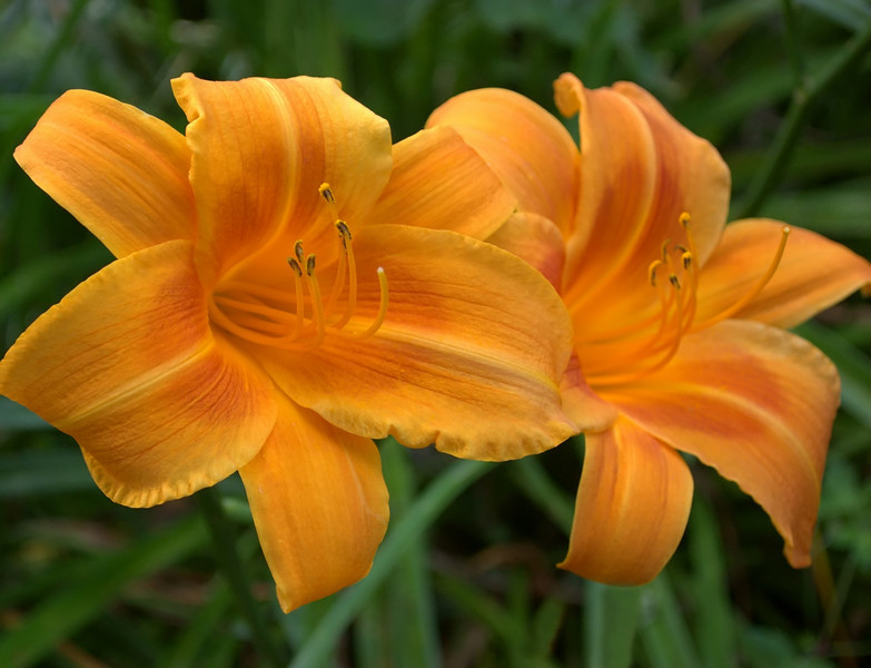 Hemerocallis, orange and yellow (daylily)
