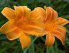 Hemerocallis, orange and yellow (daylily)