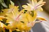 Schlumbergera truncata (Thanksgiving cactus)