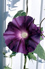 Ipomoea nil, purple and lavender  (Japanese morning glory)