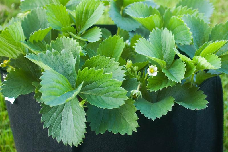 Fragaria spp (strawberries) in grow-bag