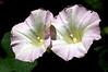 Convolvulus arvensis (bindweed)