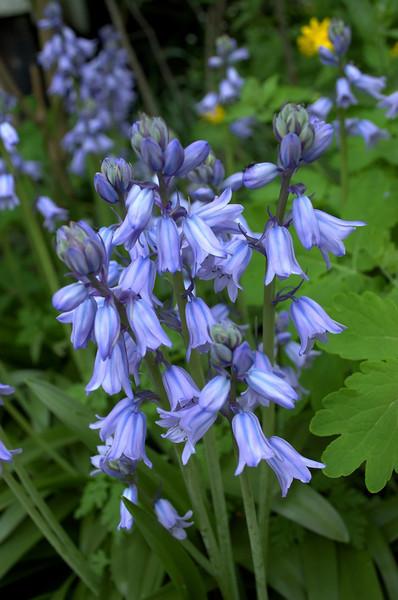 Hyacinthoides hispanica (wood hyacinth)
