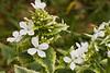 Lunaria annua alba variegata