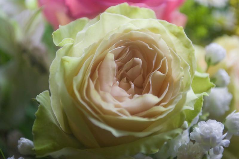 Rosa (florist type, probably 'Brilliant Stars Green Pink')