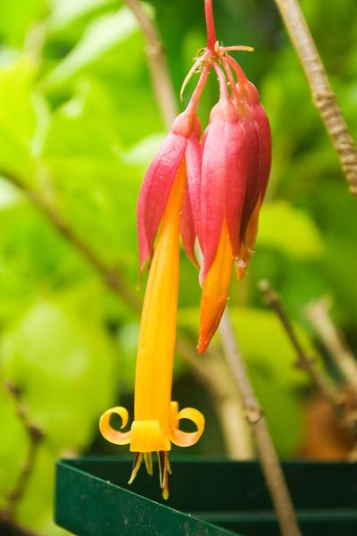 Deppea splendens (golden fuchsia)