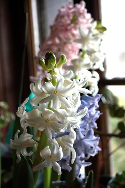 Hyacinthus orientalis (Dutch hyacinths)