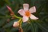 Nerium oleander (Oleander), pink