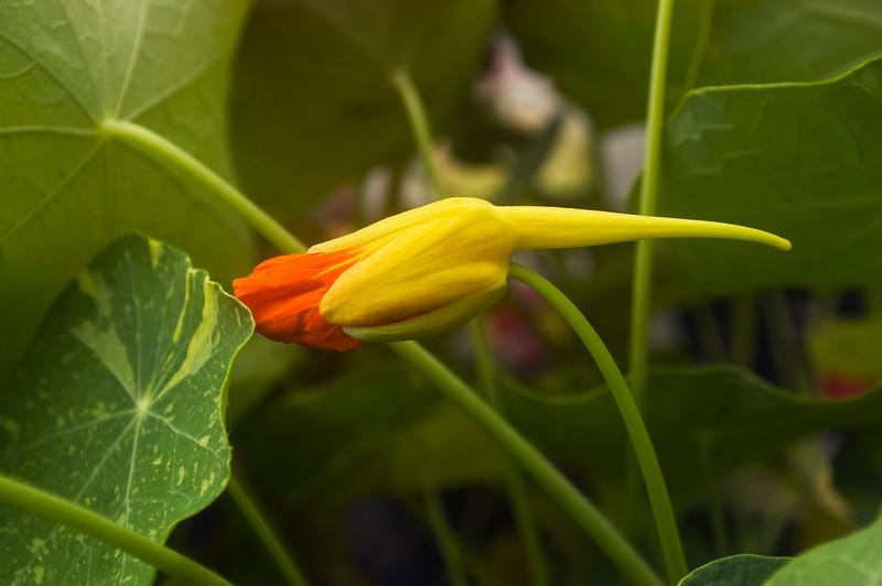 Tropaeolum bud (nasturtium)