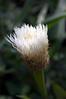 Centaurea americana 'Aloha Blanca' bud