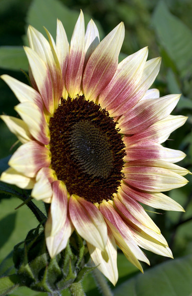 Helianthus annuus, red, yellow, and cream (sunflower)