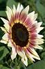 Helianthus annuus, red, yellow, and cream (sunflower)