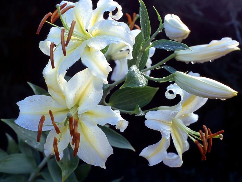 Lilium auratum 'Gold Band' (Oriental lily)