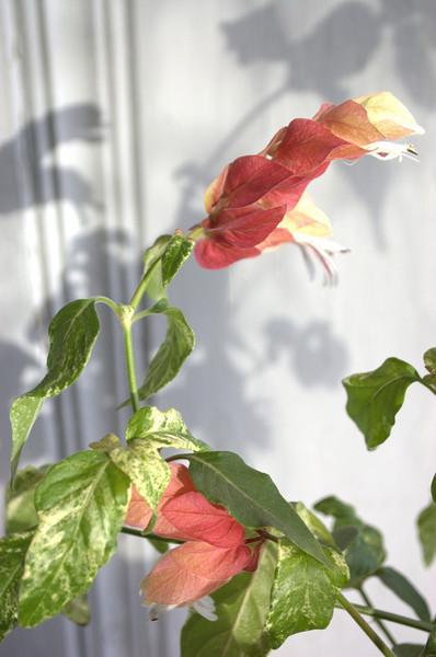 Justicia brandegeana variegata (variegated shrimp plant)
