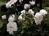 Rosa, white (rose)