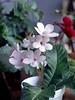 Streptocarpus 'Kitten Face' (cape primrose)