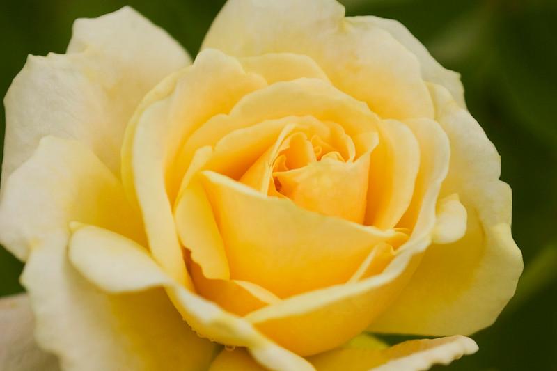 Rosa 'Sophia Renaissance'