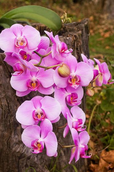 Phalaenopsis, pink (moth orchid)