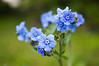 Myosotis (forget me not)