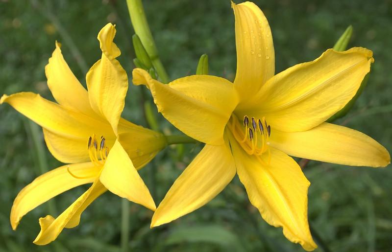 Hemerocallis, yellow (daylily)