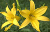 Hemerocallis, yellow (daylily)