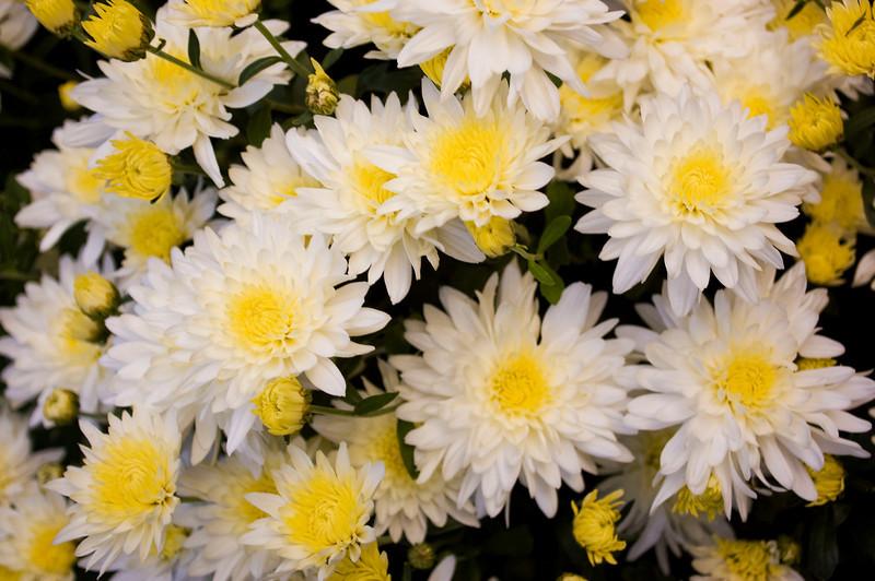 Chrysanthemum (mum), yellow and white