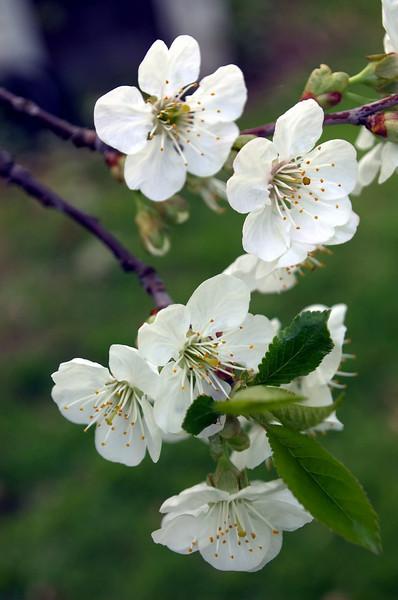 Prunus cerasus (sour cherry blossoms)