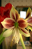 Hippeastrum papilio (butterfly amaryllis) with Hippeastrum 'Red Pearl' (amaryllis)