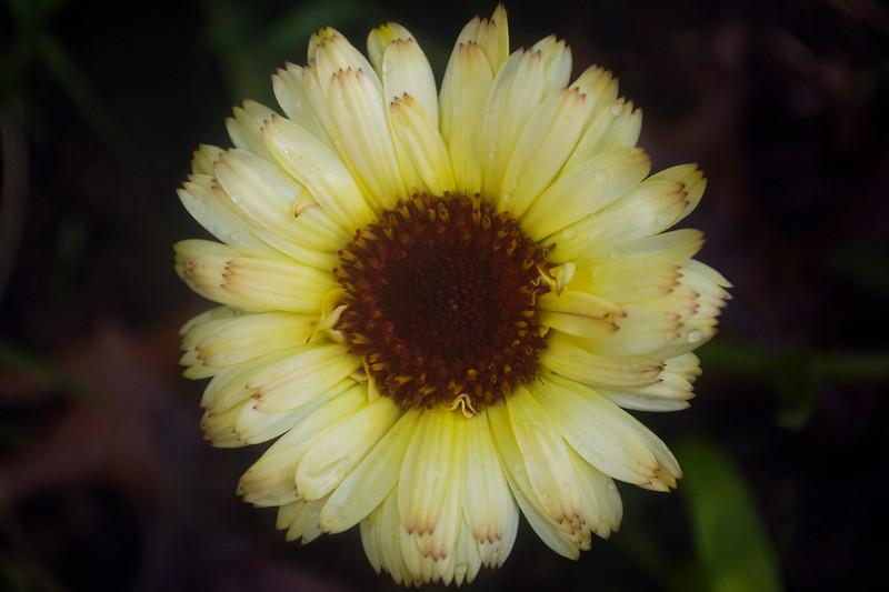 Calendula officinalis 'Snow Princess'