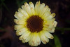 Calendula officinalis 'Snow Princess'