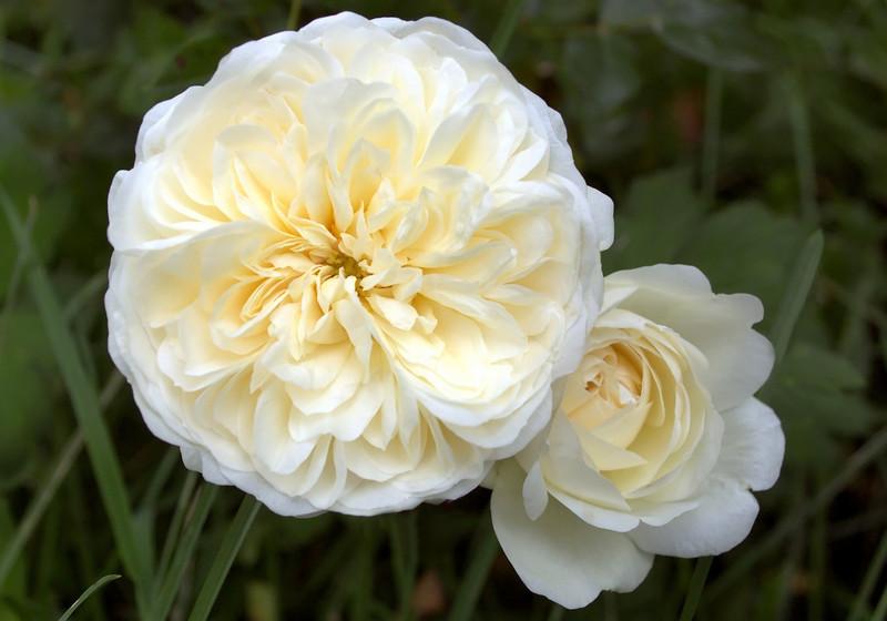 Rosa 'Yesteryear'
