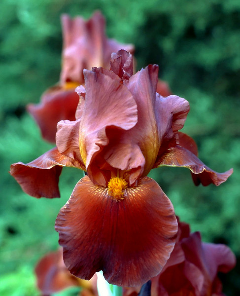 Iris germanica, bronze (bearded iris)