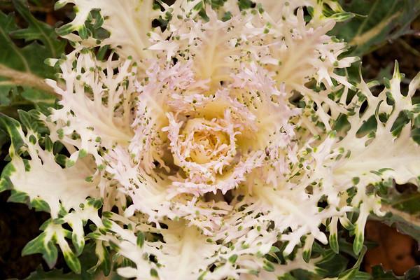 Brassica oleracea (flowering kale)