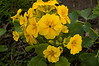 Primula x tommasinii 'You & Me,' yellow