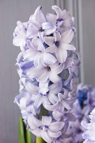 Hyacinthus orientalis (Dutch hyacinth), lavender
