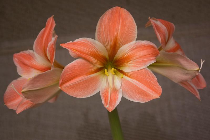 Hippeastrum 'Apricot Parfait' (amaryllis)