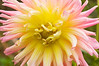 Dahlia 'New Dimension'