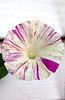 Ipomoea purpurea 'Raspberry Swirl' (morning glory)