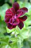 Pelargonium peltatum 'Black Magic' (ivy geranium)