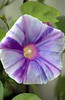 Ipomoea nil, purple, lavender and white (Japanese morning glory)