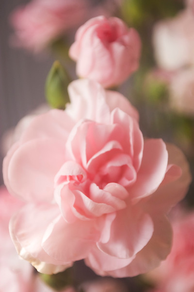 Dianthus caryophyllus (carnation, florist type)