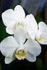 Phalaenopsis, white (moth orchid)