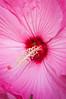 Hibiscus moscheutos (hardy hibiscus)
