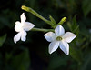 Nicotiana alata grandifora (flowering tobacco)