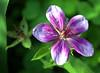Geranium soboliferum (hardy geranium)